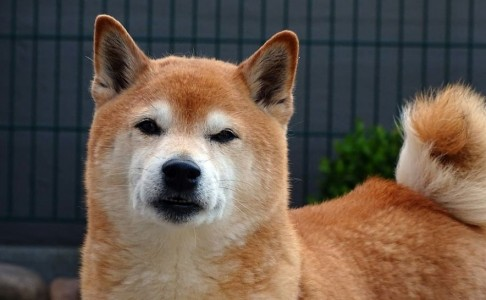 Shiba Inu Token: Is The Dogecoin Competitor A Legitimate Investment?